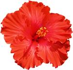 hibiscus_flower_150